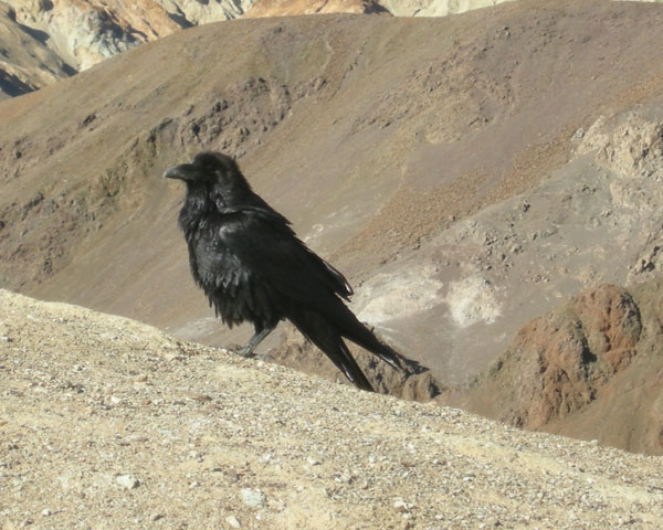 A Raven at Artist's view