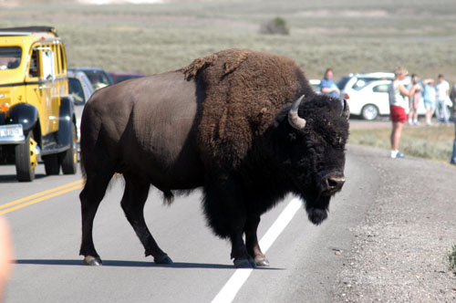 Why did the Buffalo Cross The Road?